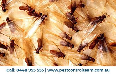 pest control balwyn
