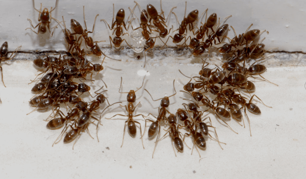 Why Call Professional Pest Control Service To Get Rid Of Bull Ants